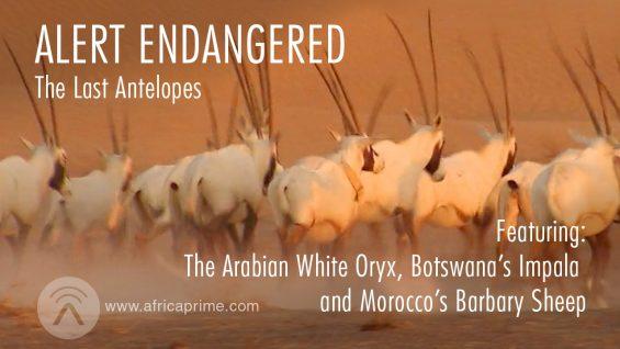 Alert Endangered – Last Antelopes