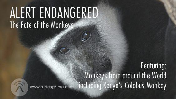 Alert-Monkeys-Fate