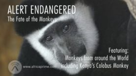 Alert Endangered – Monkey's Fate