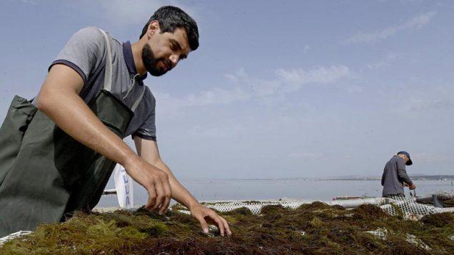 Mediterranean seaweed industry